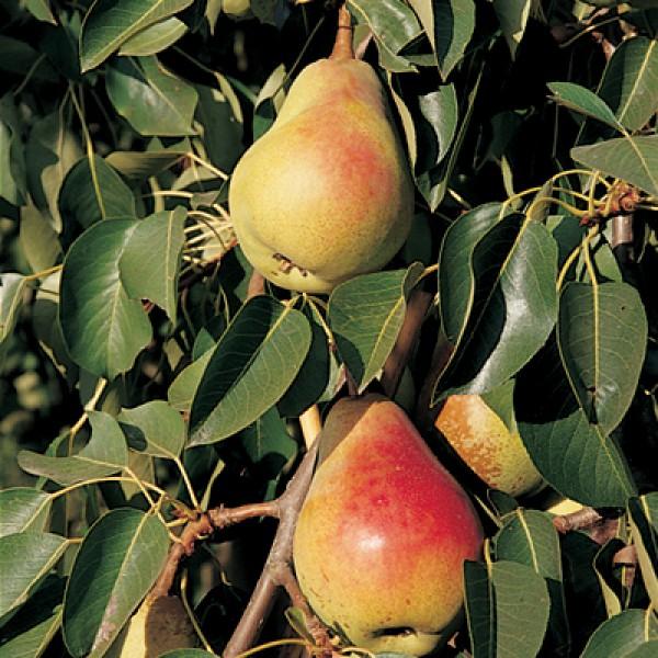 10 Adet Etrusca Armut Fidanı (Pear)1.Boy