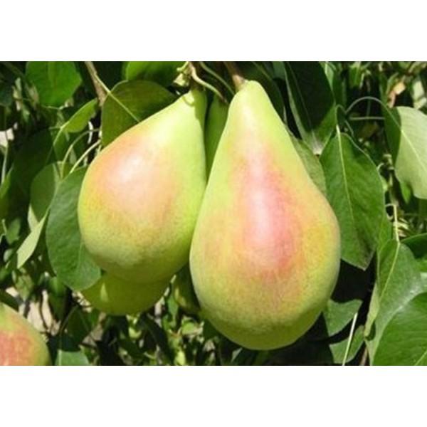10 Adet Santa Maria Armut Fidanı (pear) Açık Kök 2. Boy