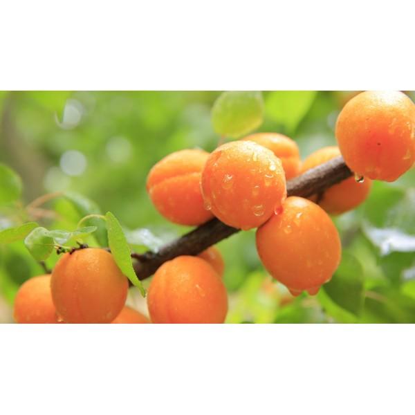 10 Adet Kayısı Fidanı Orange Ruby (Apricot) Açık Kök 1. Boy