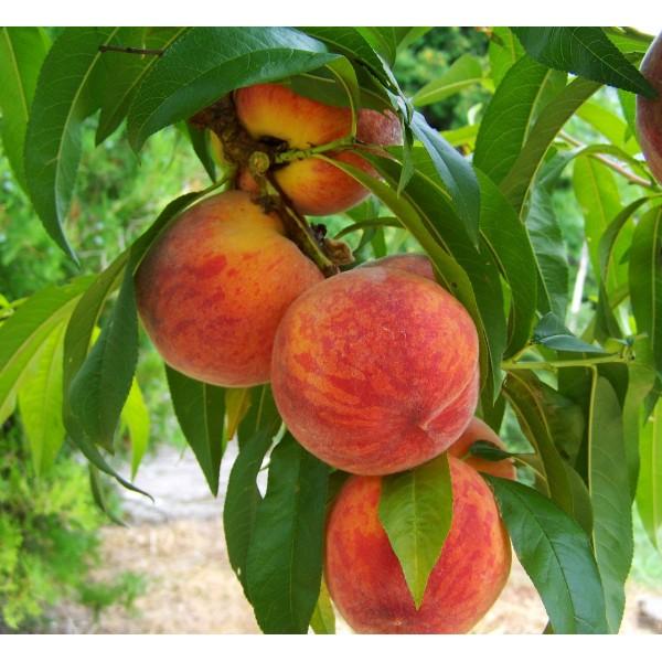 Şeftali Fidanı (peach) 2.boy